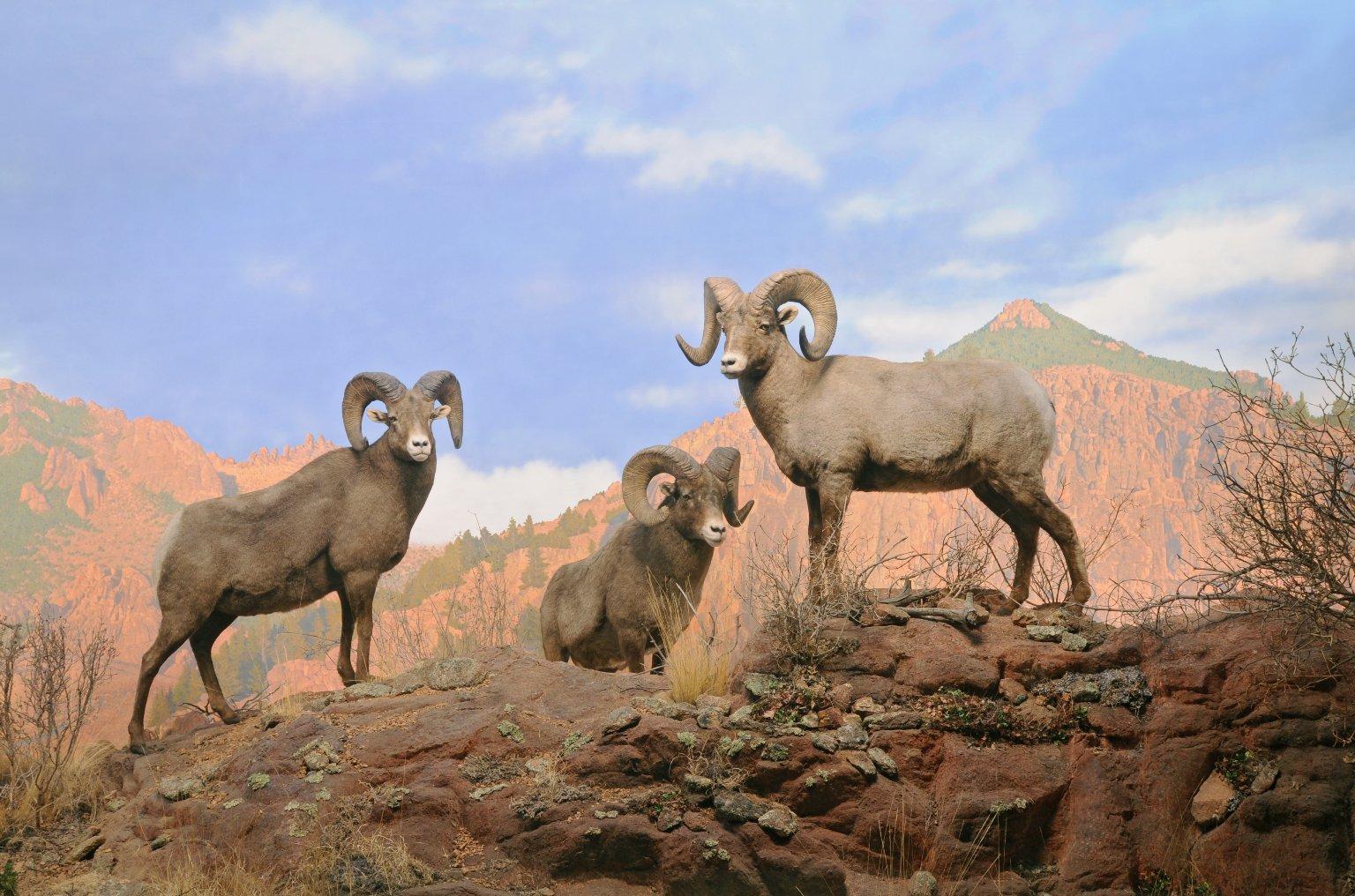 Rocky Mountain Bighorn Sheep Diorama