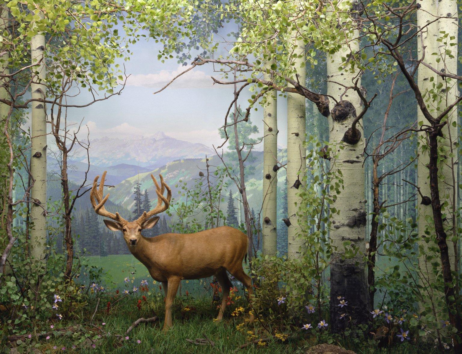 Summer Mule Deer Diorama