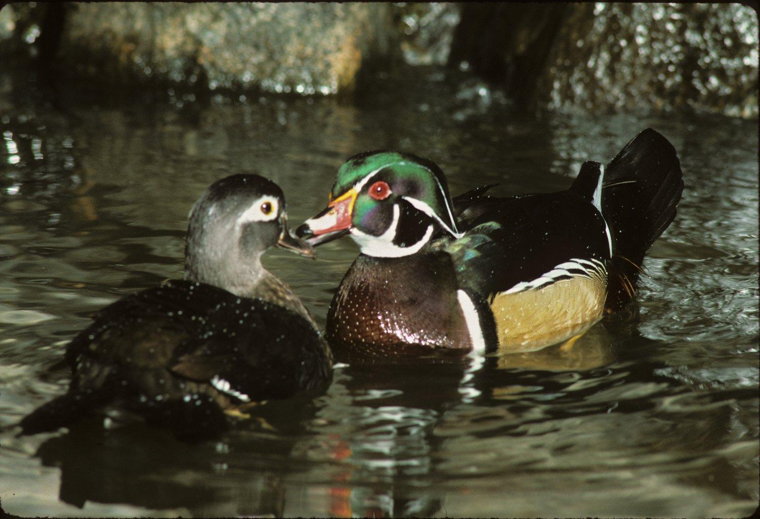 Male & female Wood Ducks