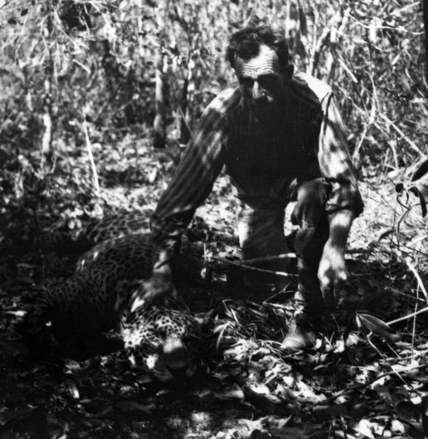 Miller squatting over the body of a jaguar