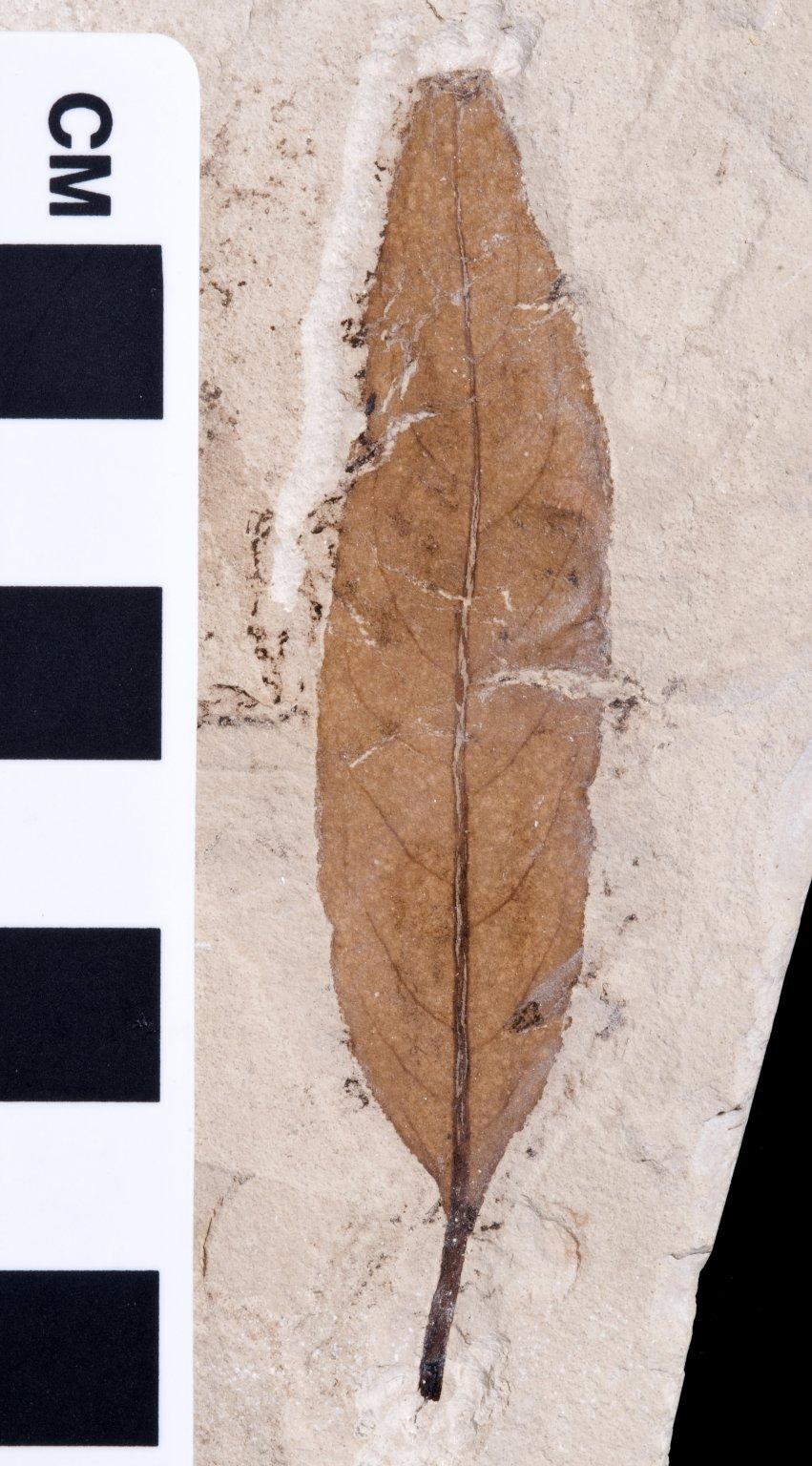 PC093 - leaf
