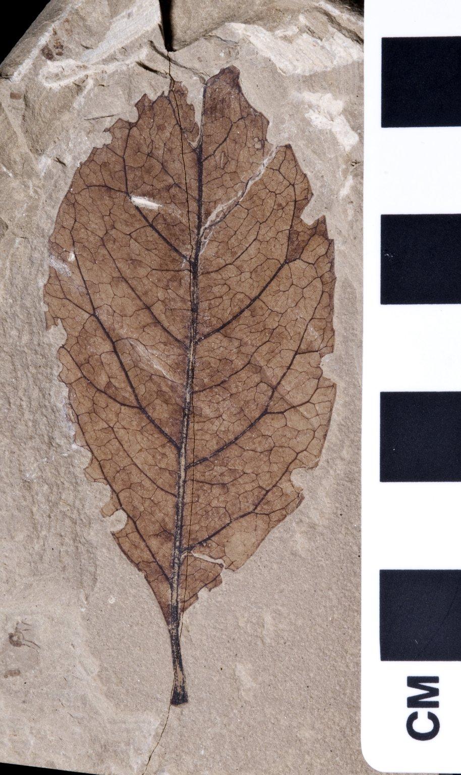 PC136 - leaf