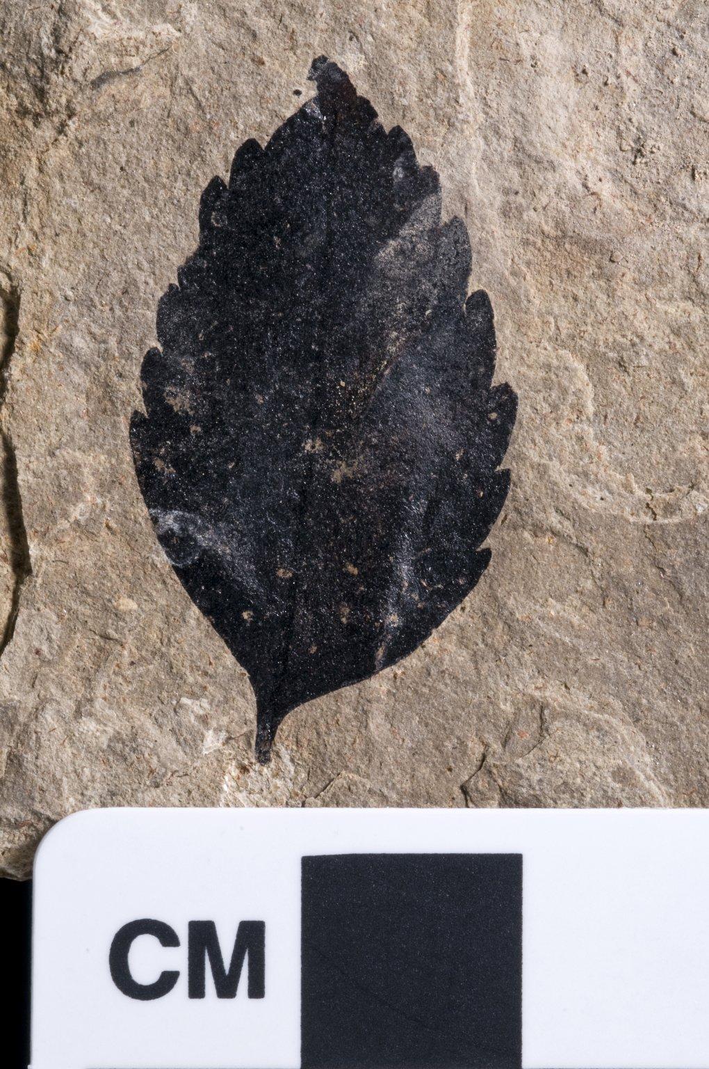 PC083 - leaf