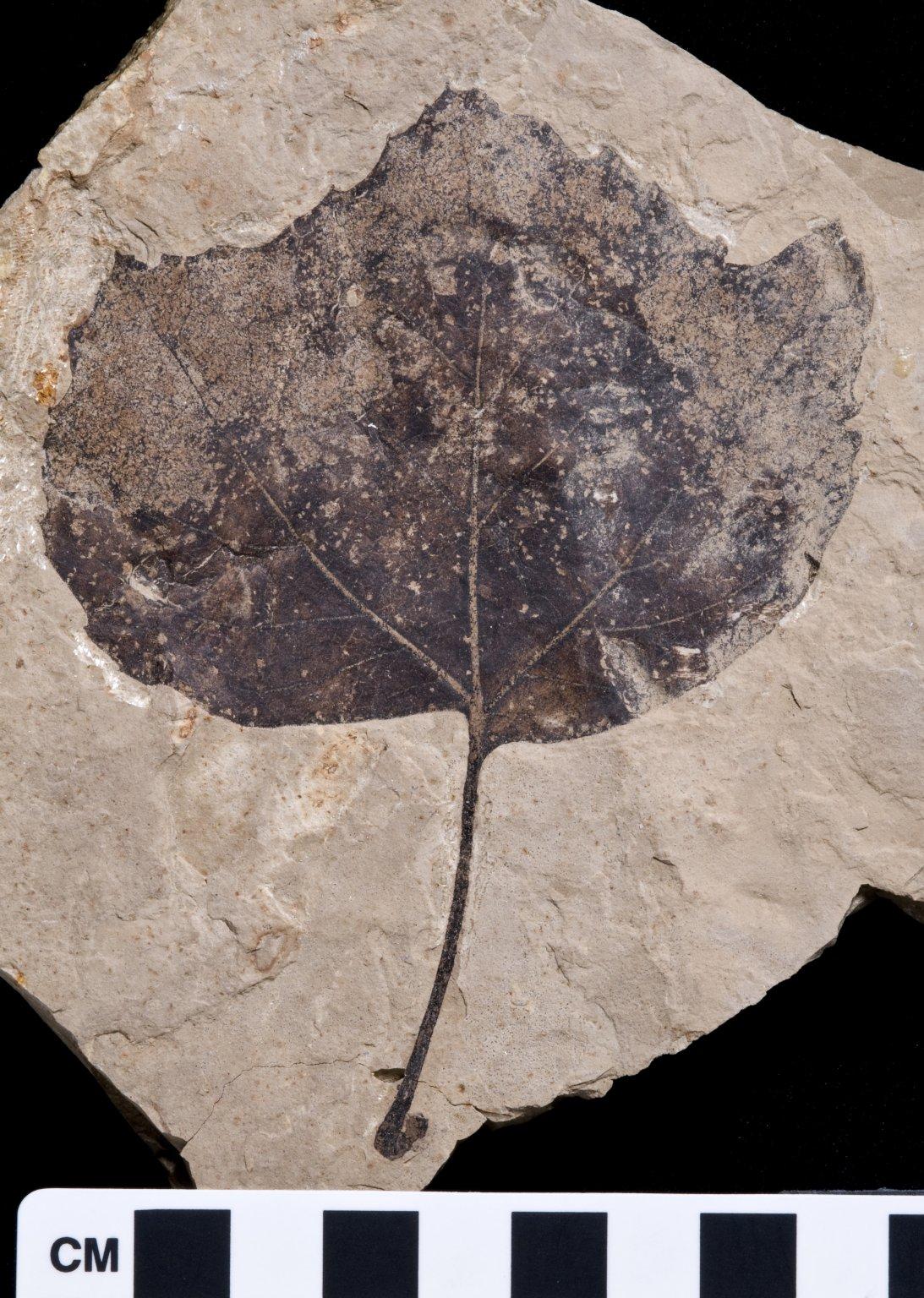 PC056 - leaf