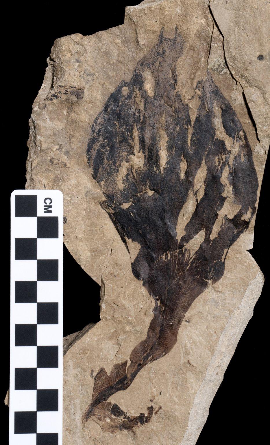 PC221 - leaf