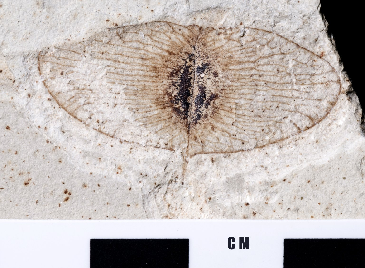 Ptelea cassiodes - seed