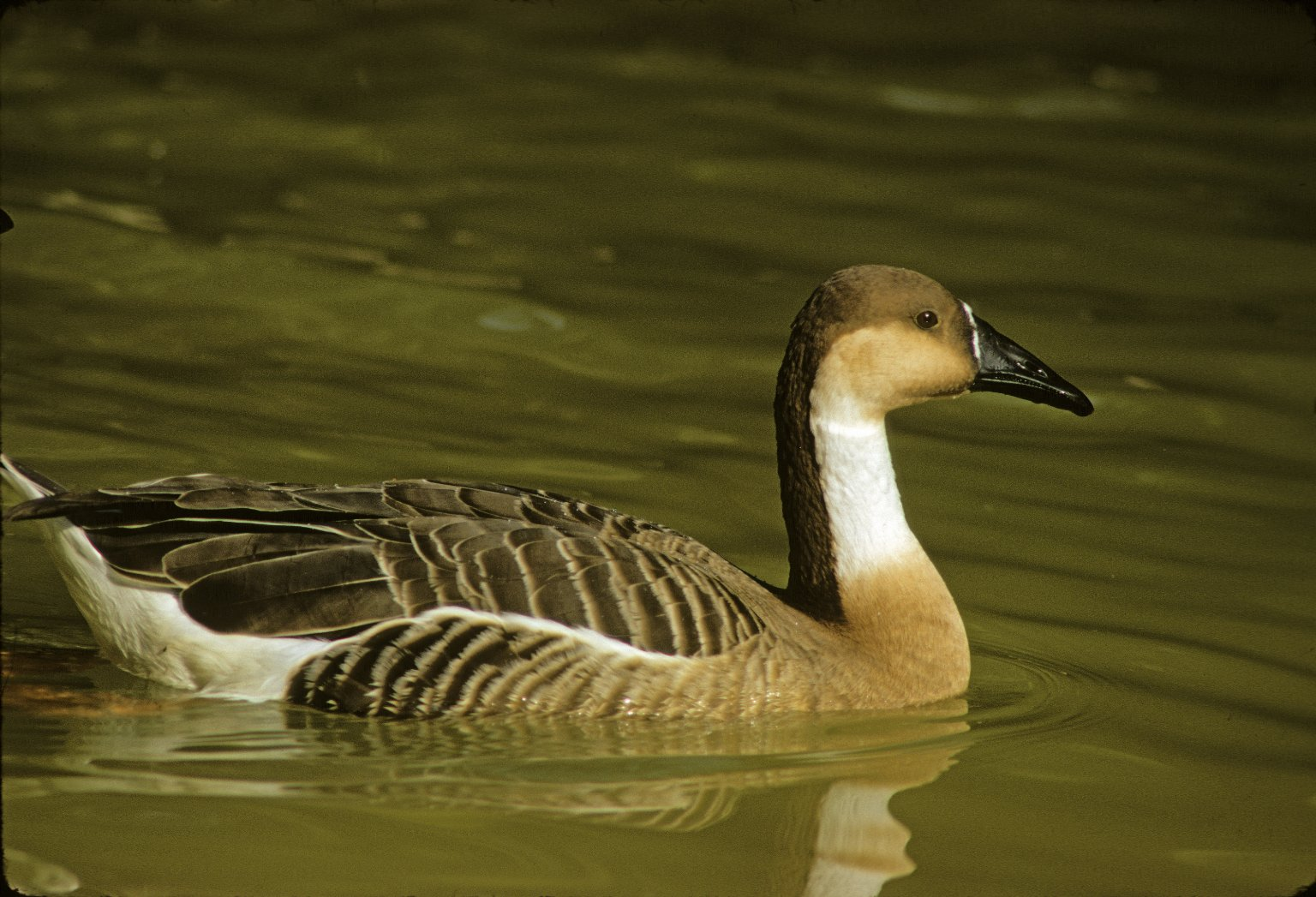 Swan Goose