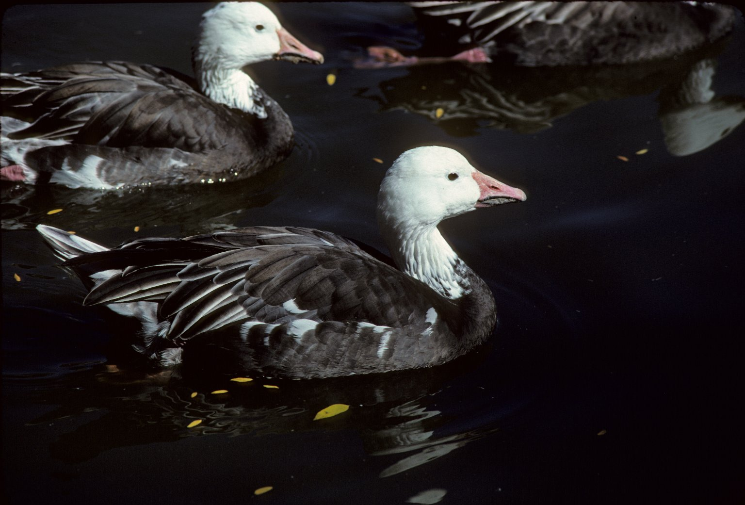 Snow Geese, Blue Phase