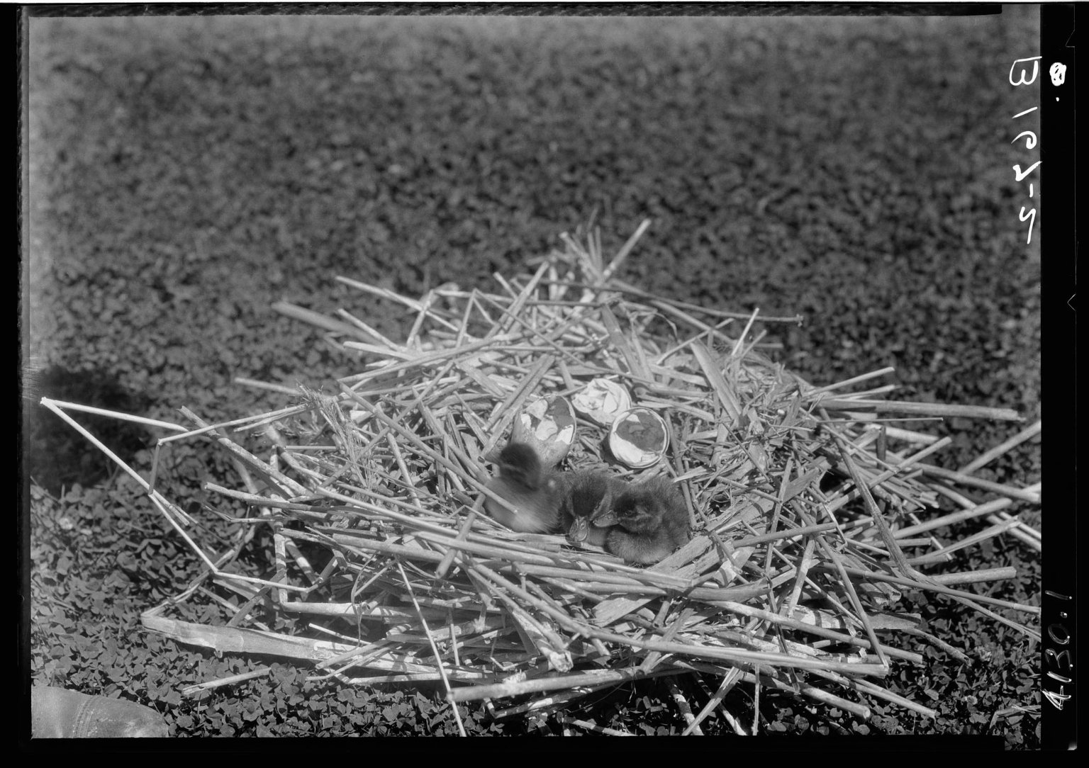 Ruddy duck nest, eggs & young