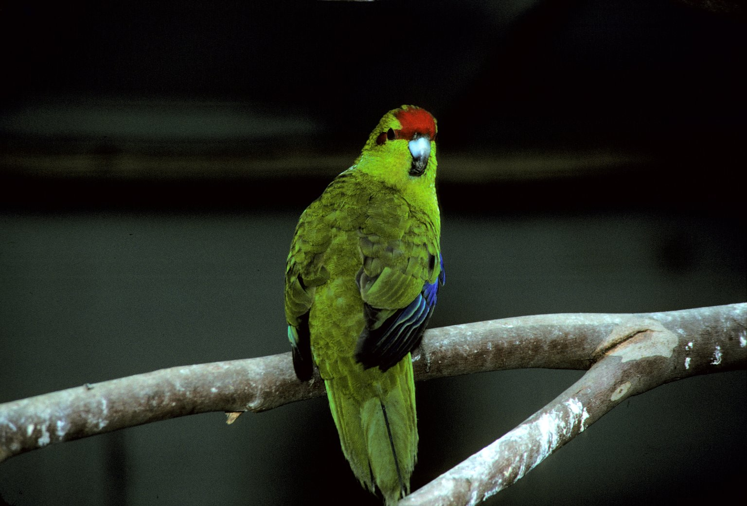 Red-crowned Parakeet, sometimes called Red-fronted Parakeet