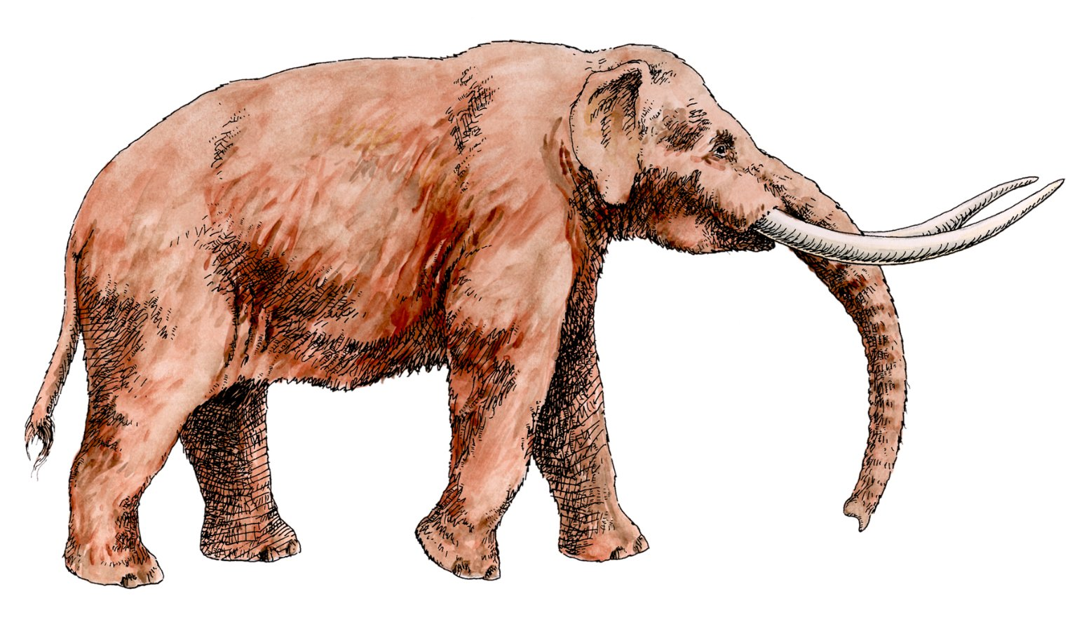 Drawing and Water Color of an American Mastodon