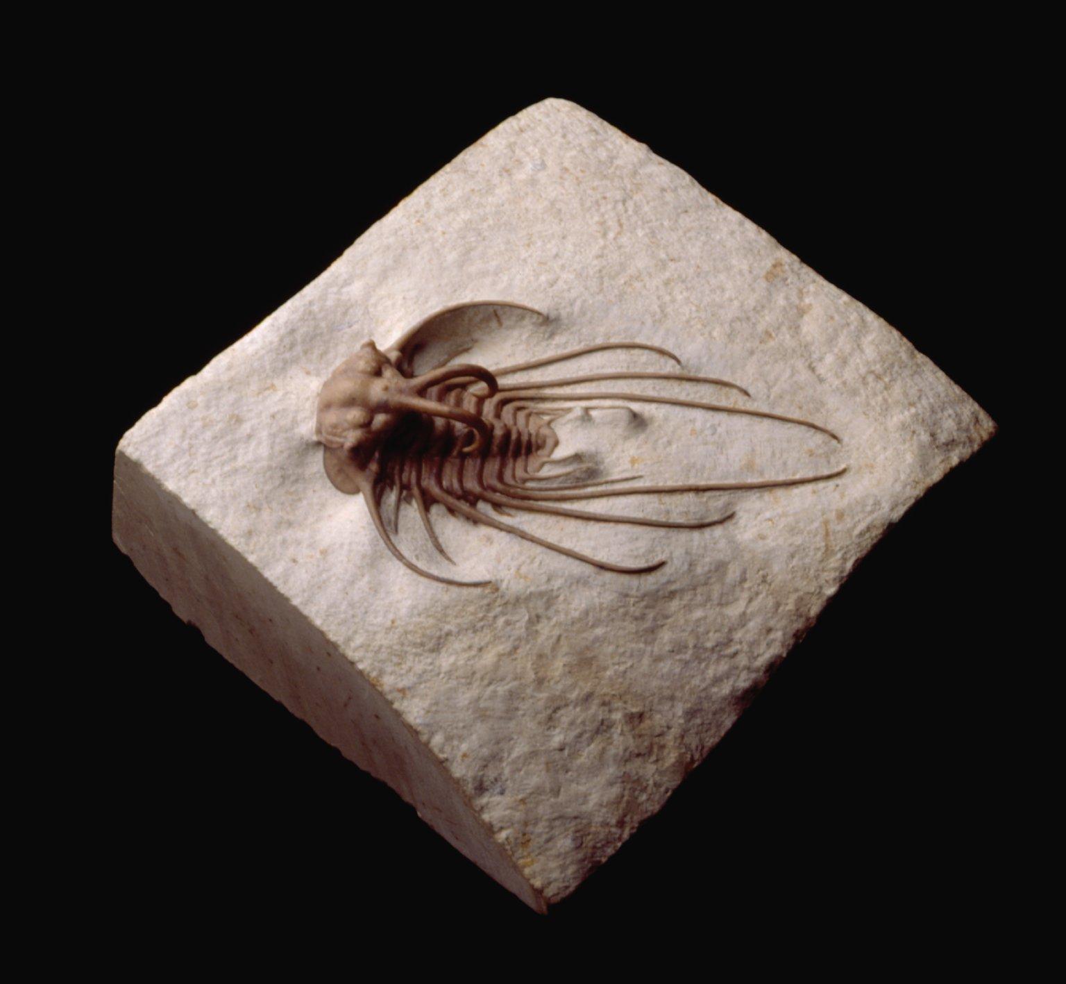 Spiny trilobite
