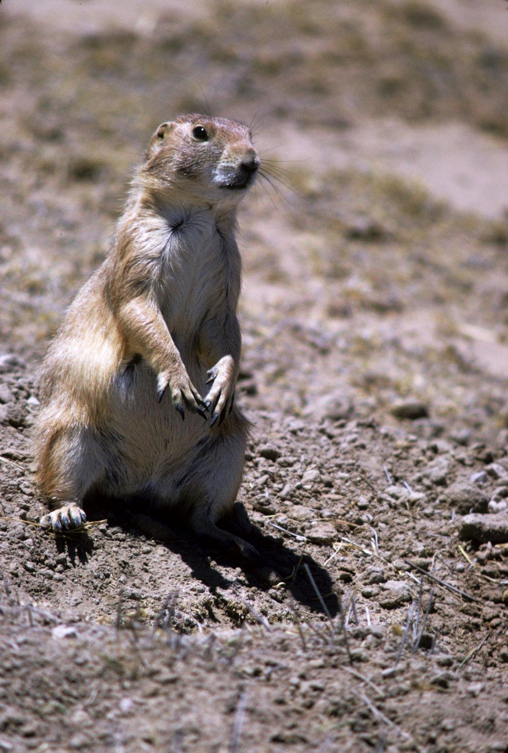 Black-tailed Prairie Dog