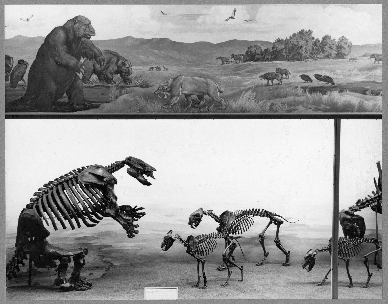 Articulated skeletons in Rancho La Brea exhibit, left side.