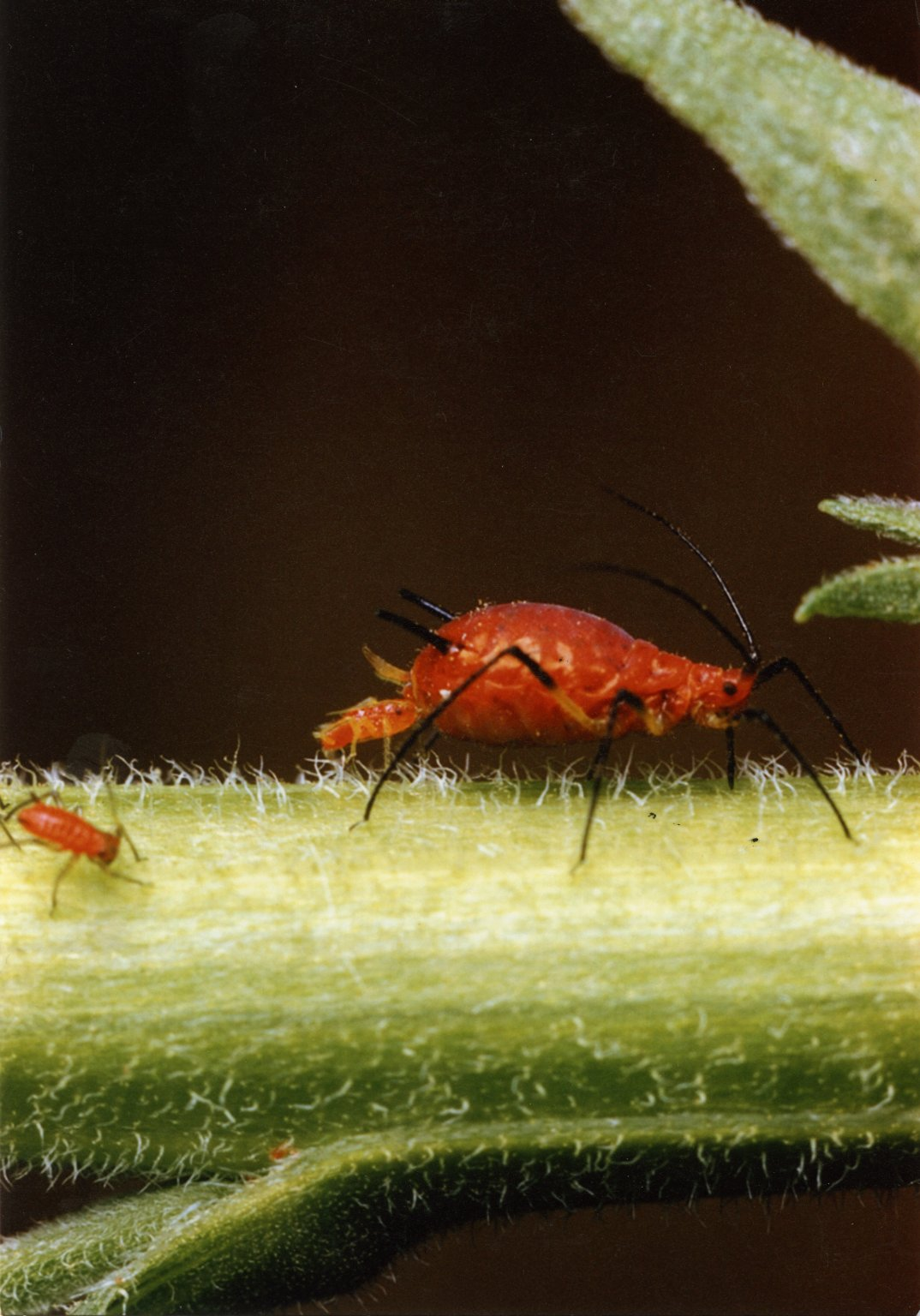 Close up of red aphid on green stalk