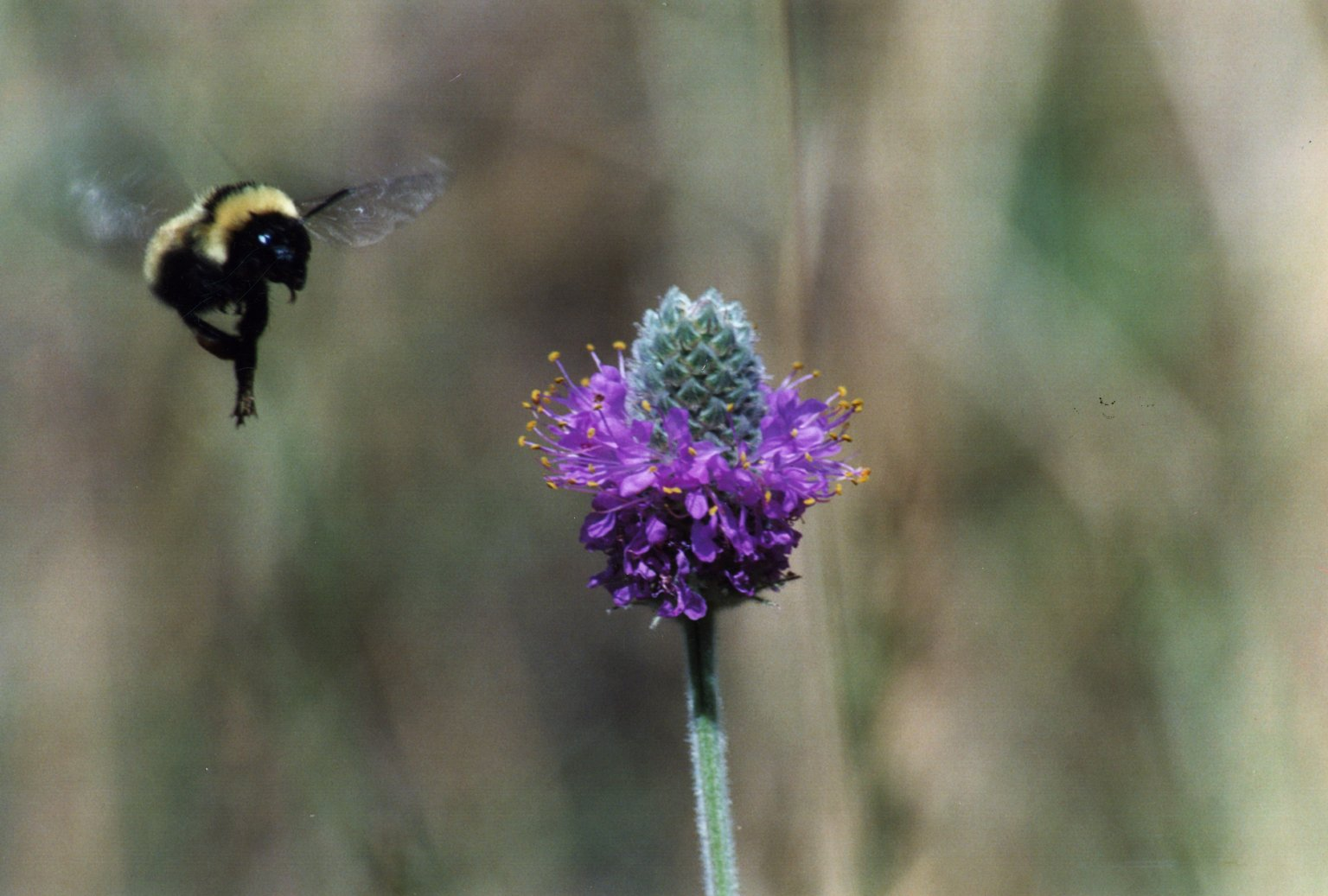 Image of flying bee and purple flower