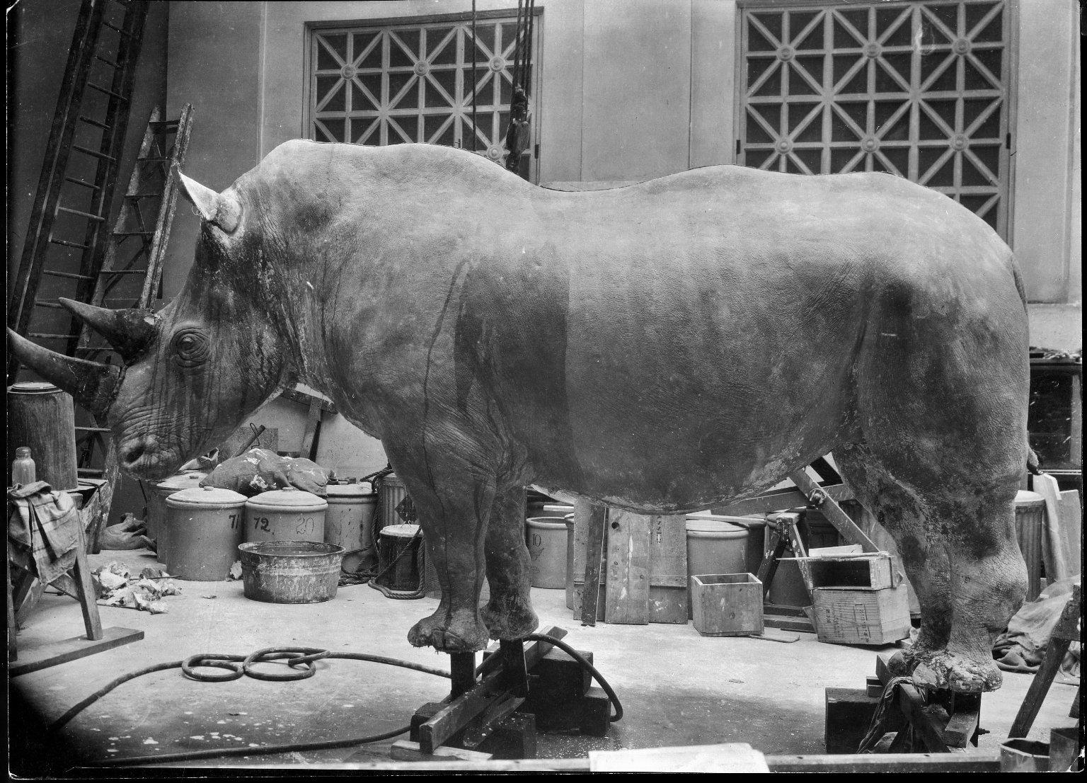 Final retouching to Rhino mount for exhibit The Field Museum