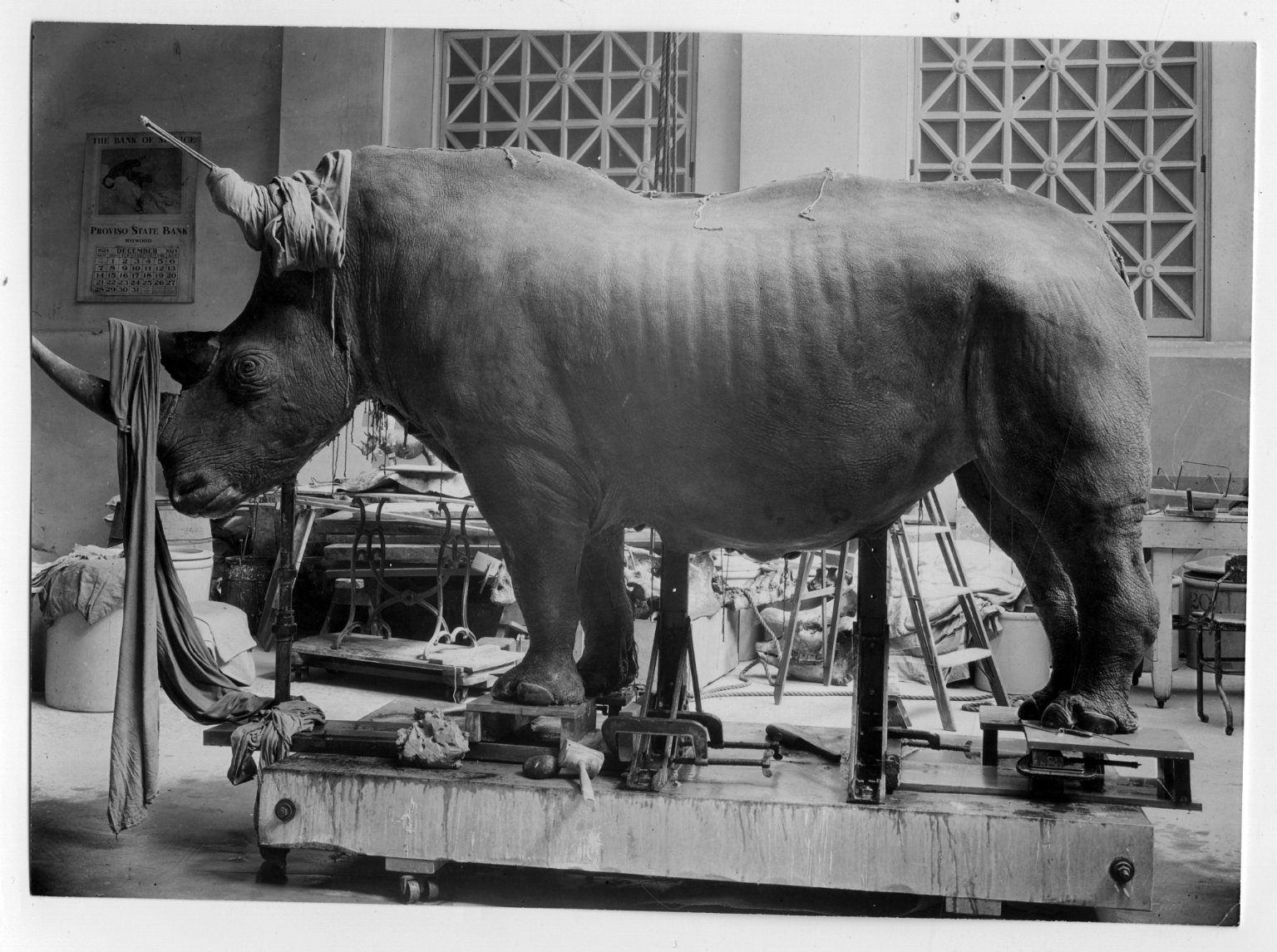 Rhinoceros mold with skin adjusted at The Field Museum