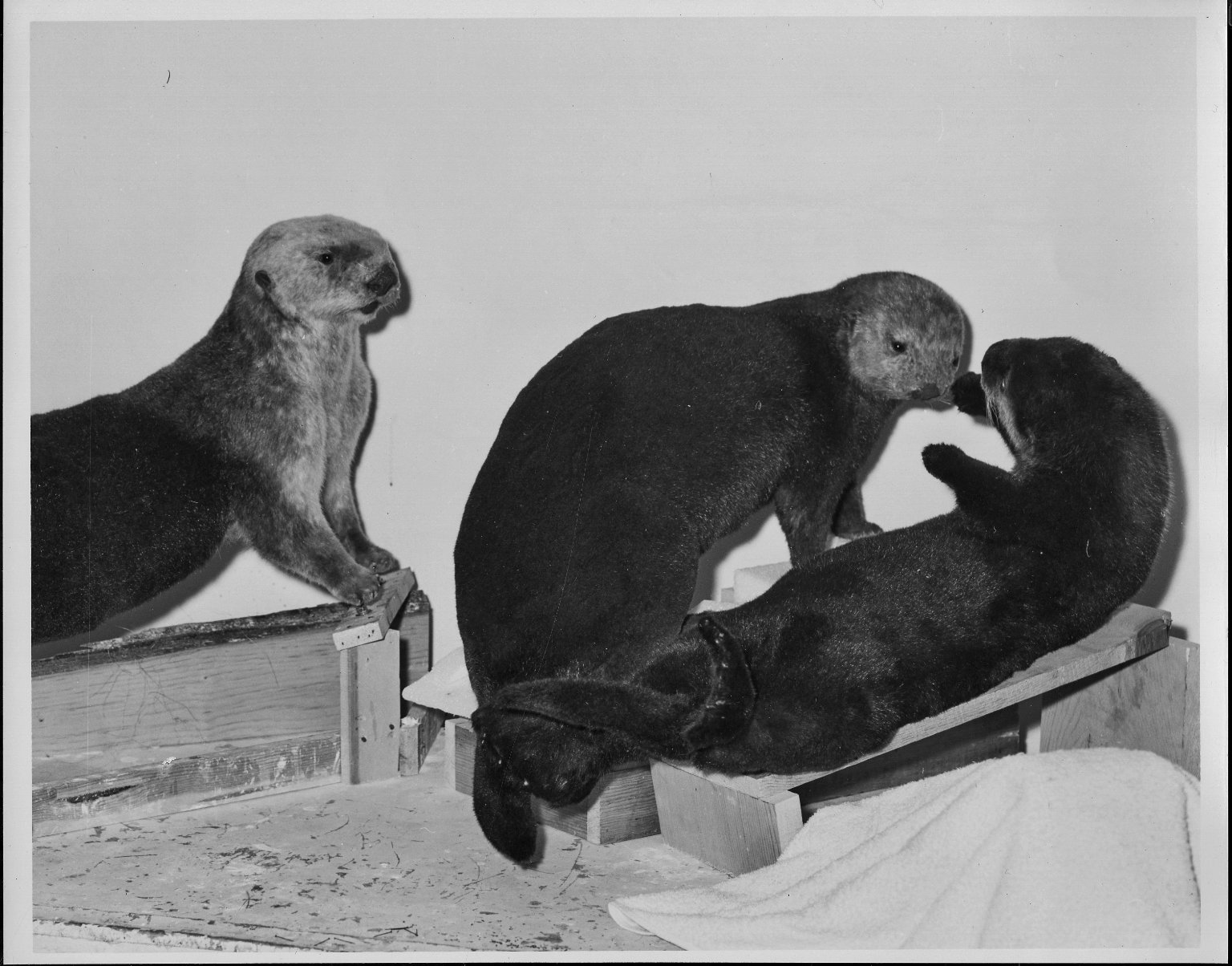 Mount being prepared for Otter exhibit
