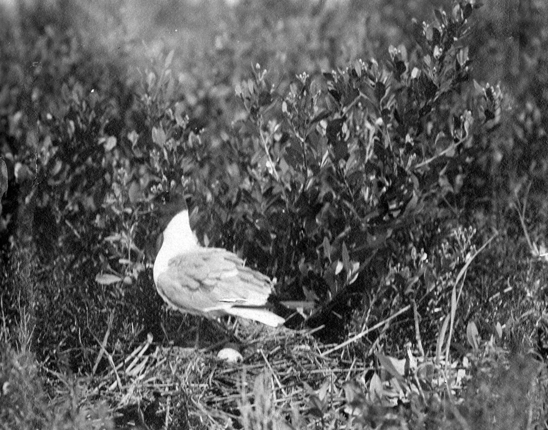 Franklin's gull,