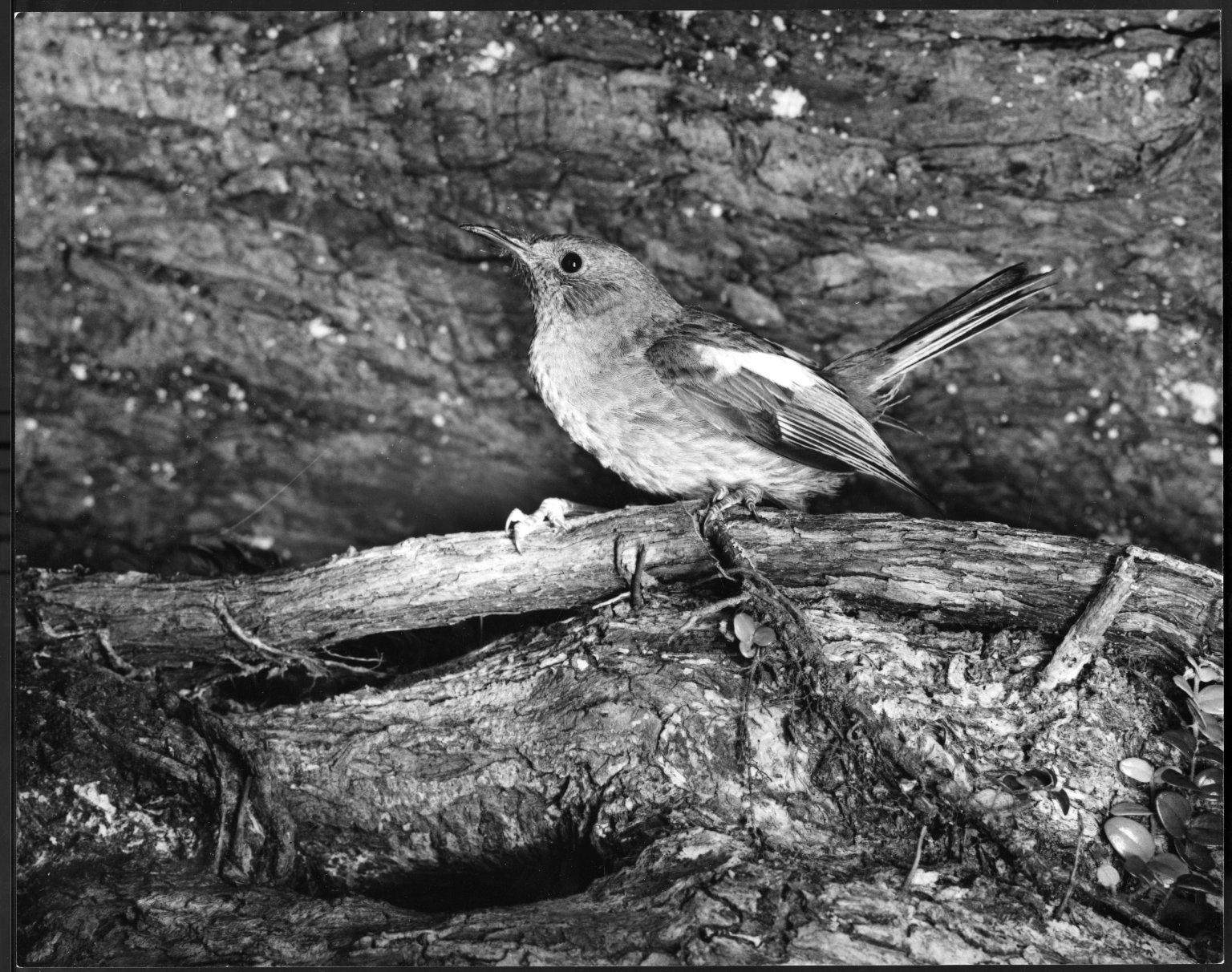 Stitchbird, Notiomystis cincta