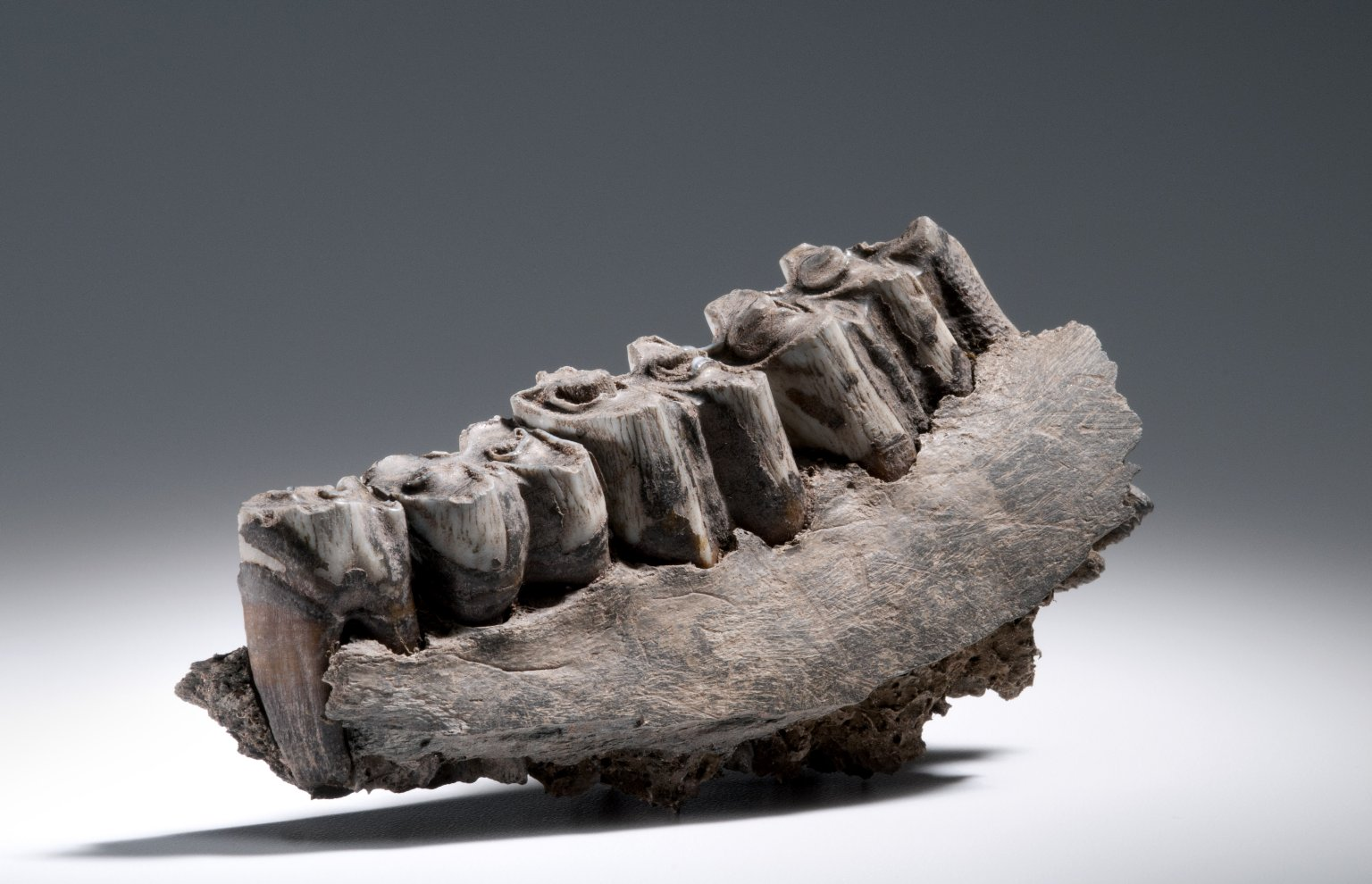 Bison jaw with teeth
