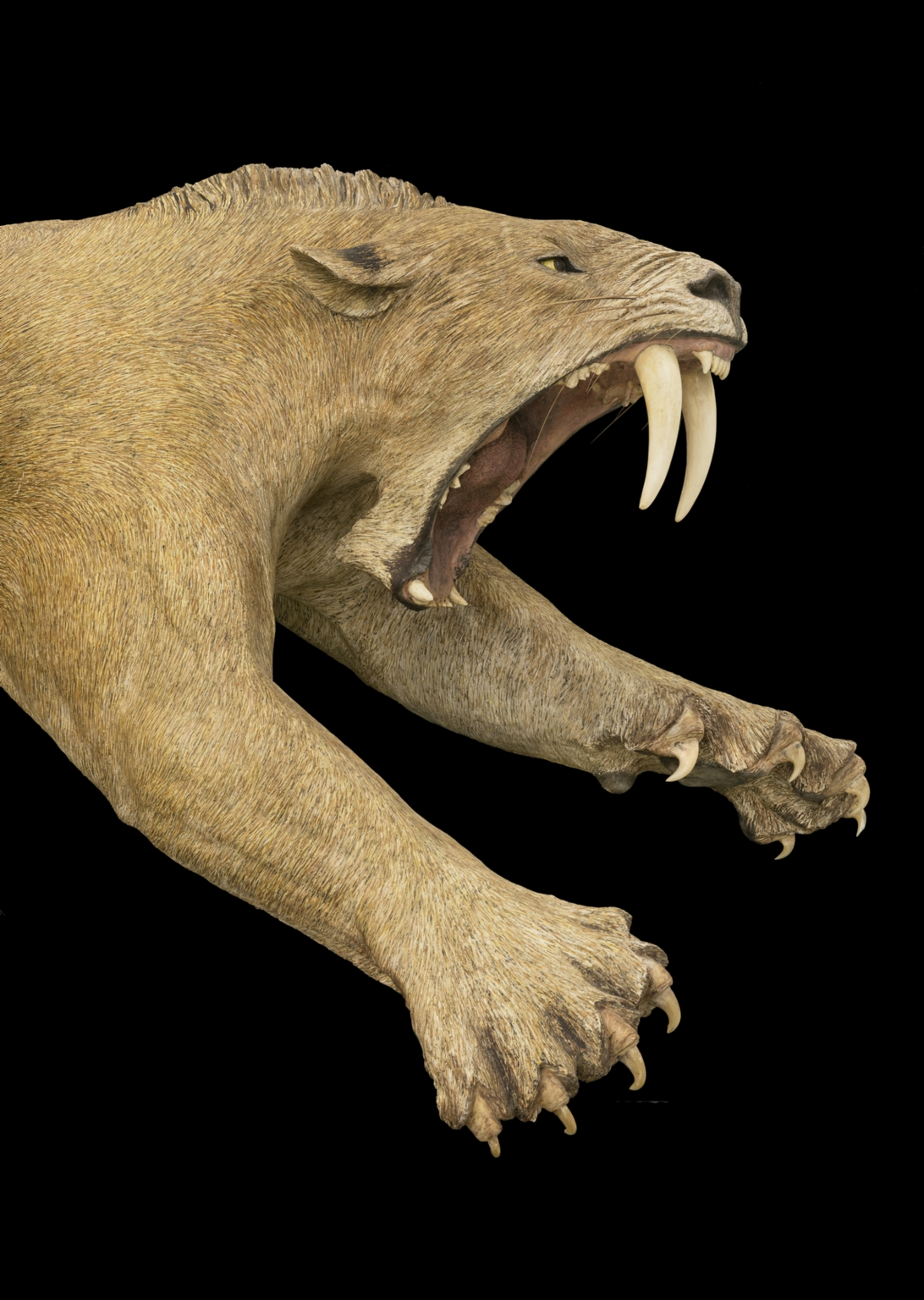 Lunging Saber-Toothed Cat Sculpture-Detail