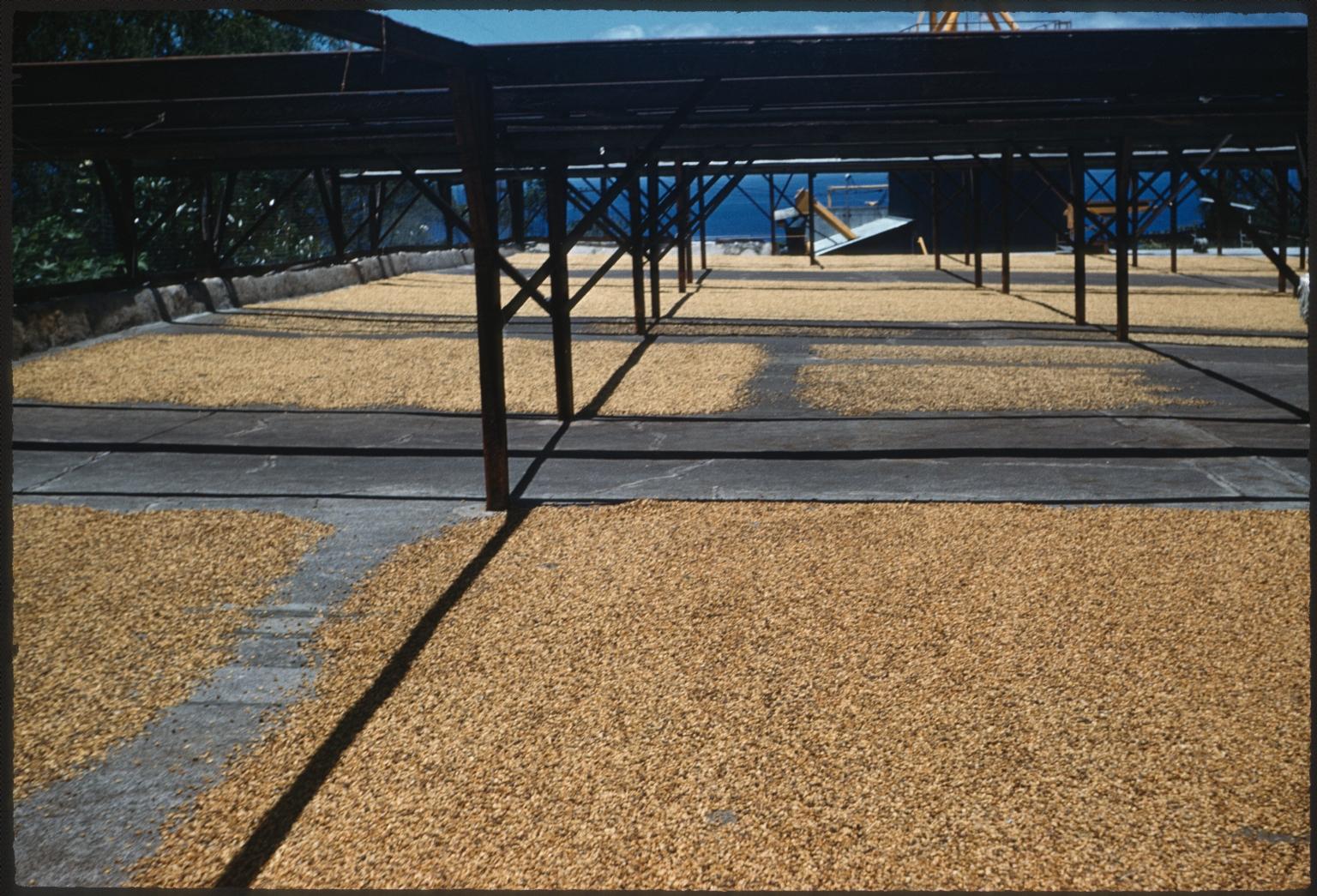 Coffee beans air drying