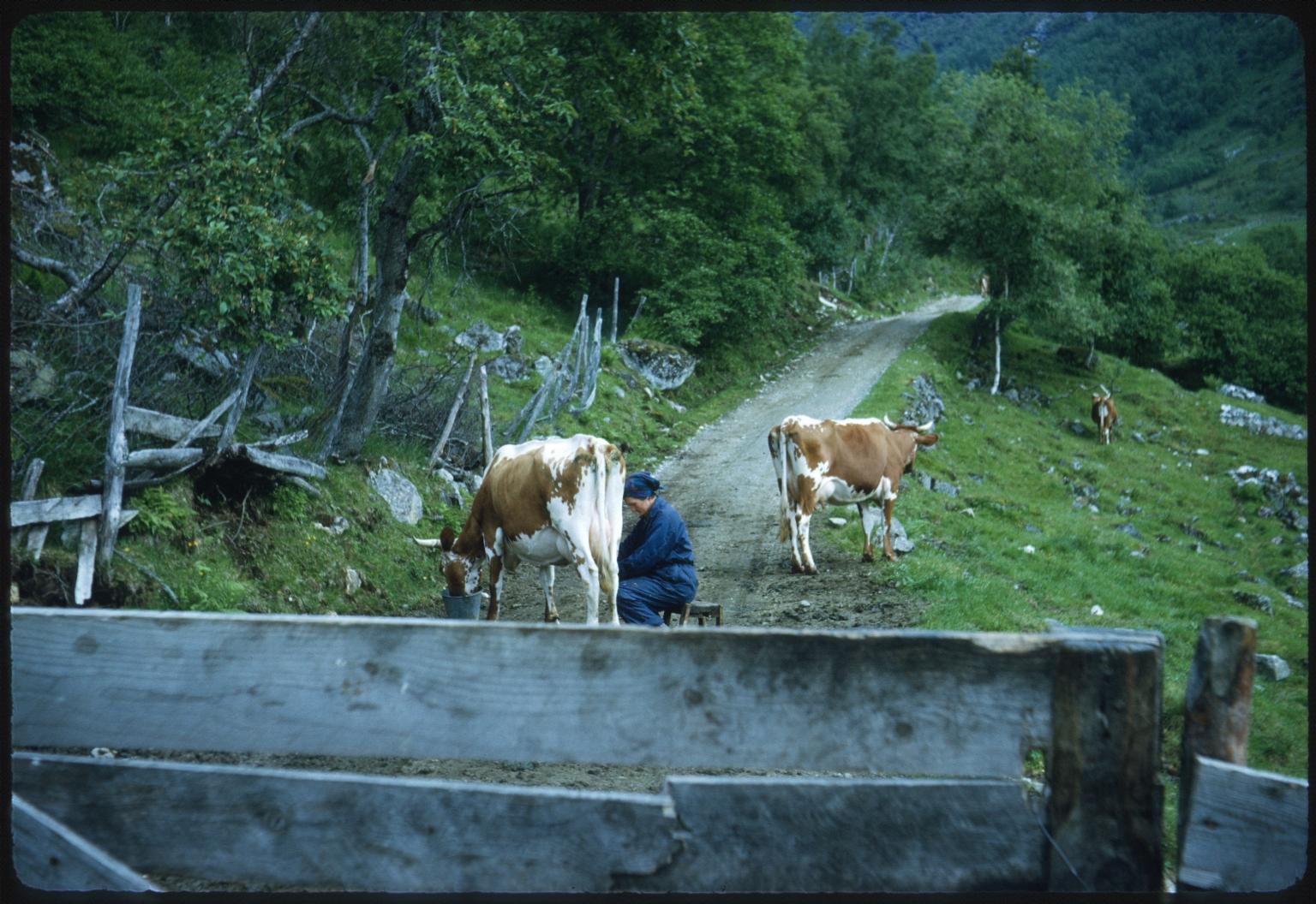 Milking cows in Norway
