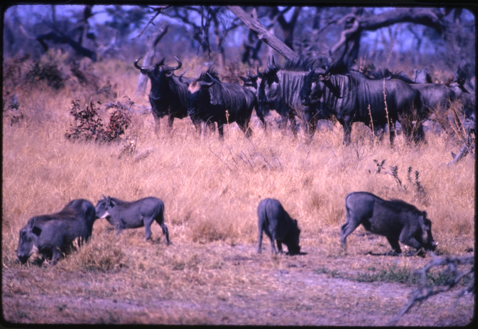 Warthogs and Wildebeest