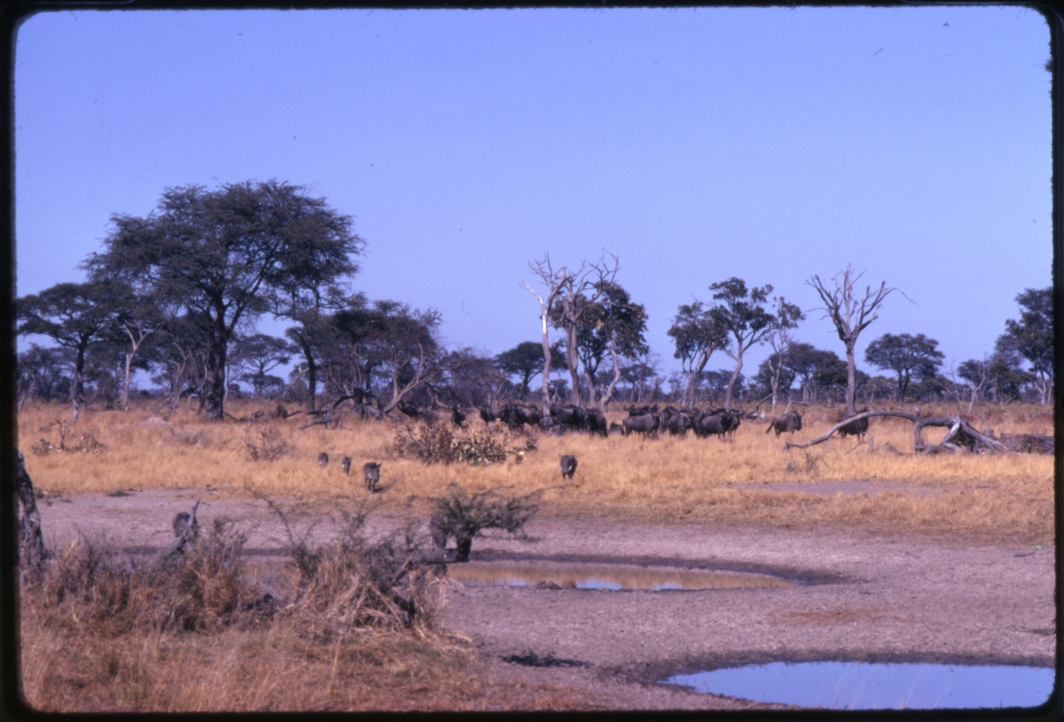 Warthogs and Wildebeest