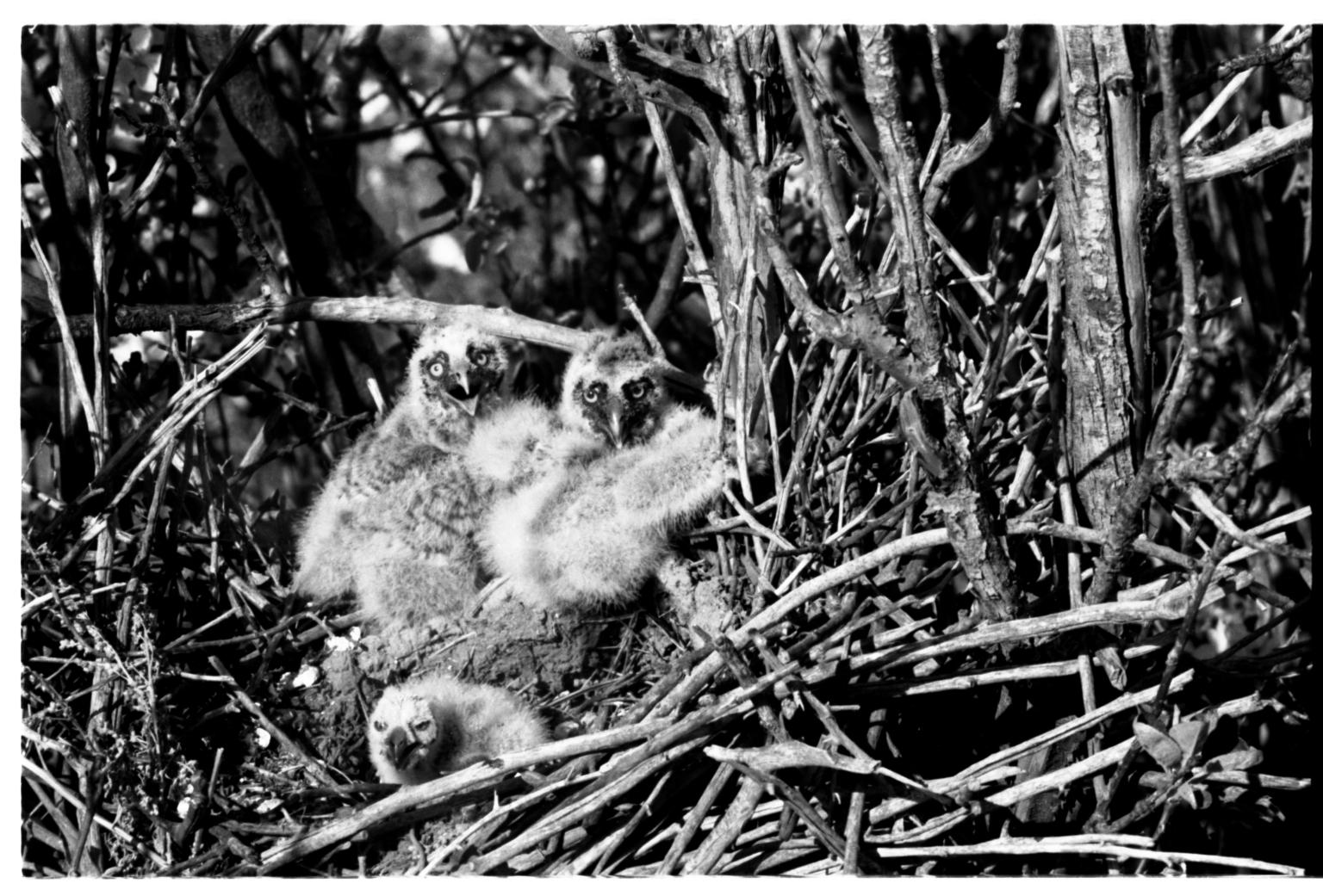 Owl Nest and Nestlings