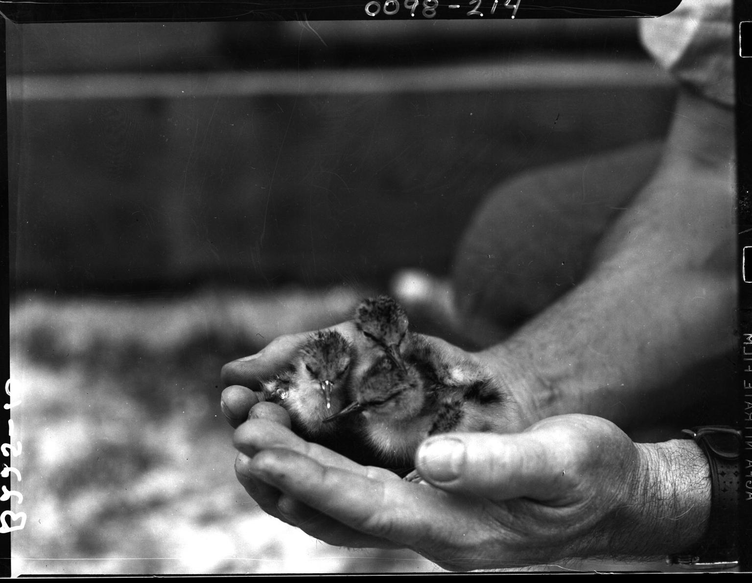 Avocet chicks in hands