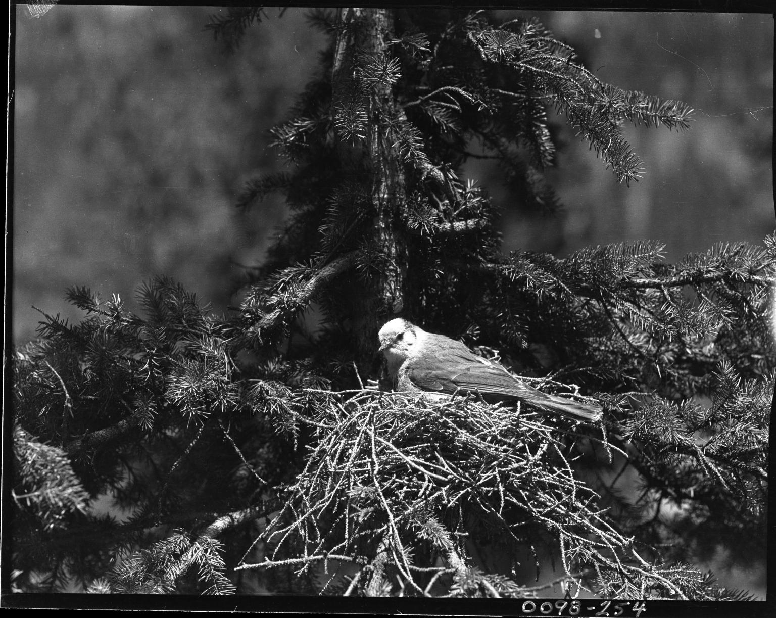 Gray Jay on nest