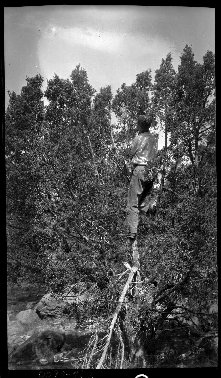 Manclimbing tree to Bushtit nest
