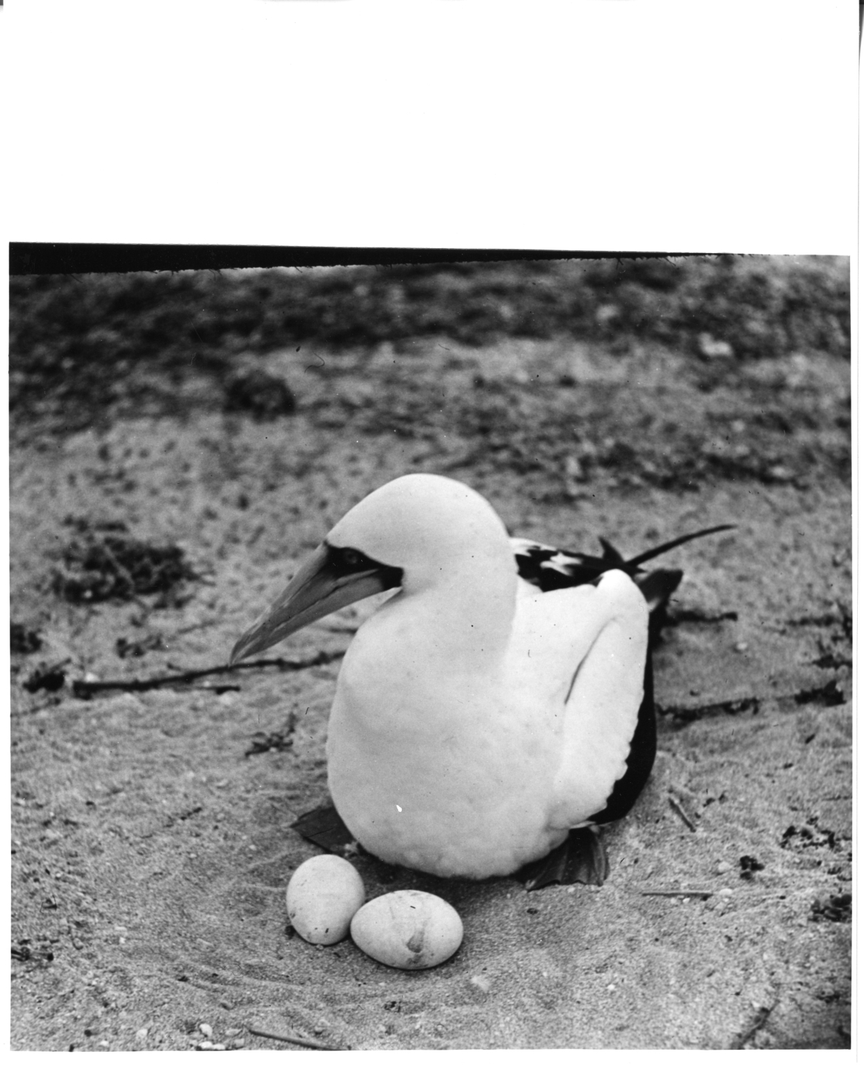 Blue-faced Booby with eggs