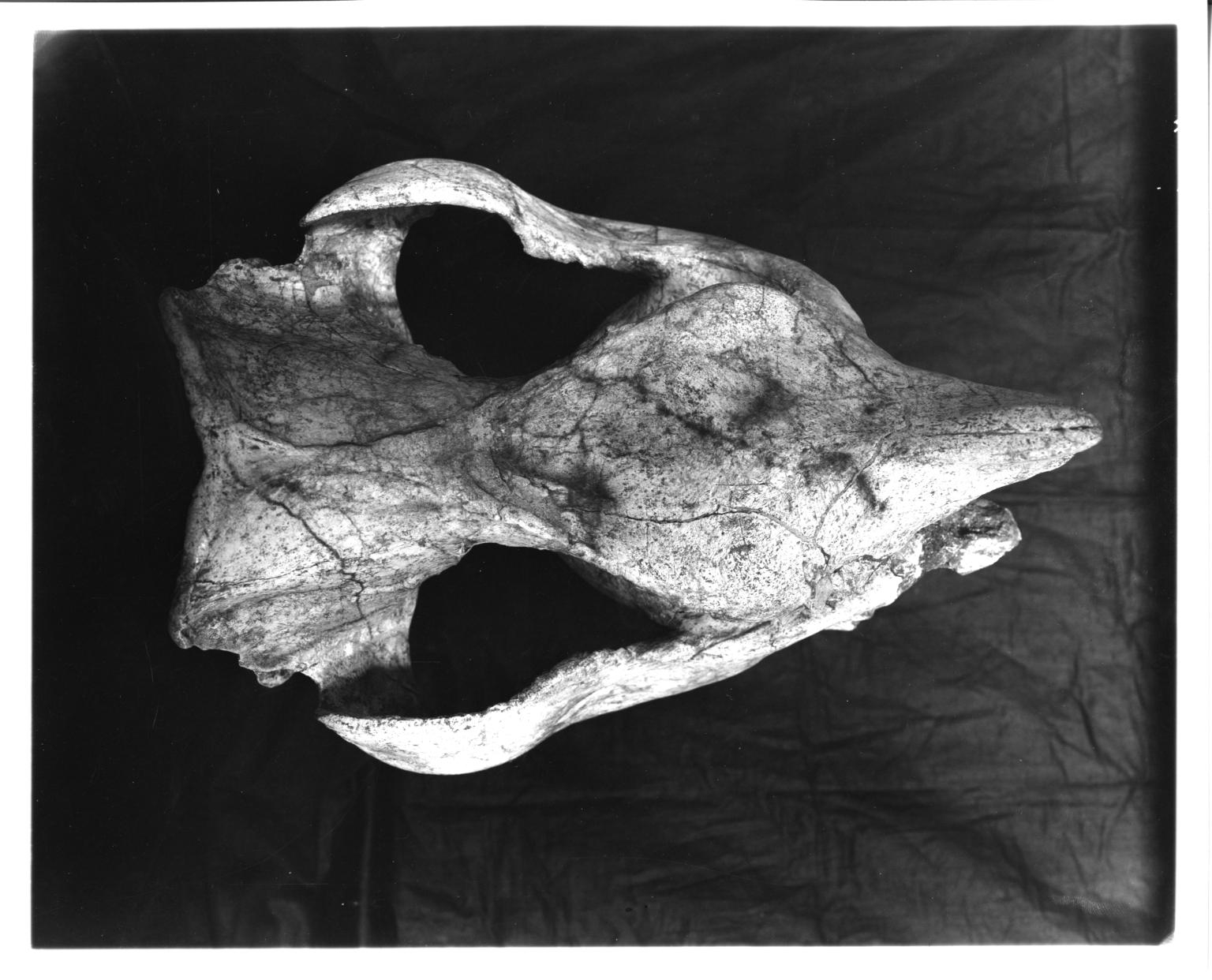 Teleoceras hicksi skull