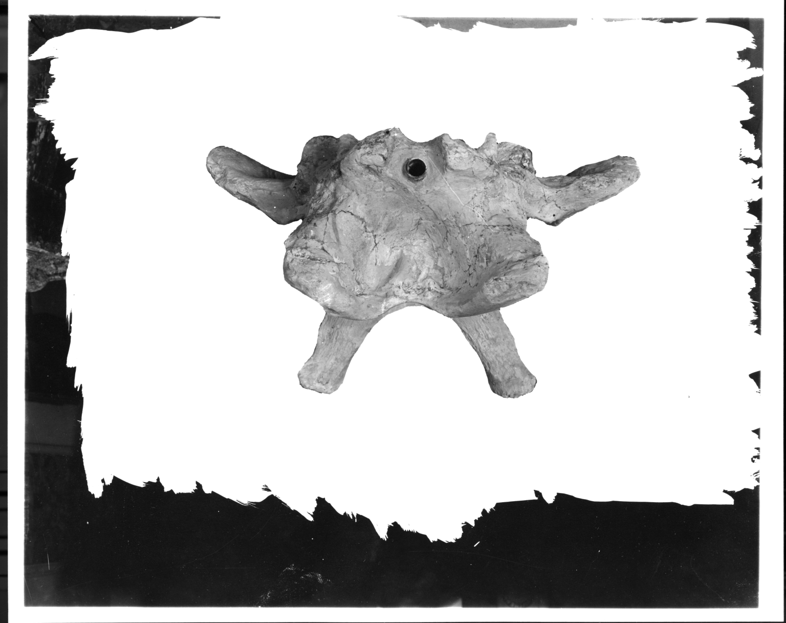 Symborodon skull