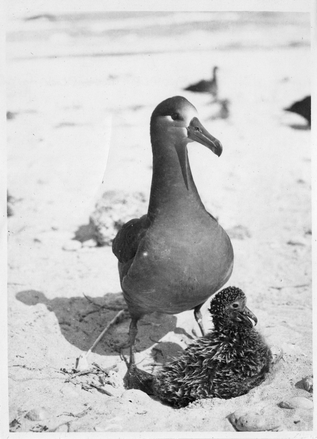 Black-footed Albatross with chick on nest