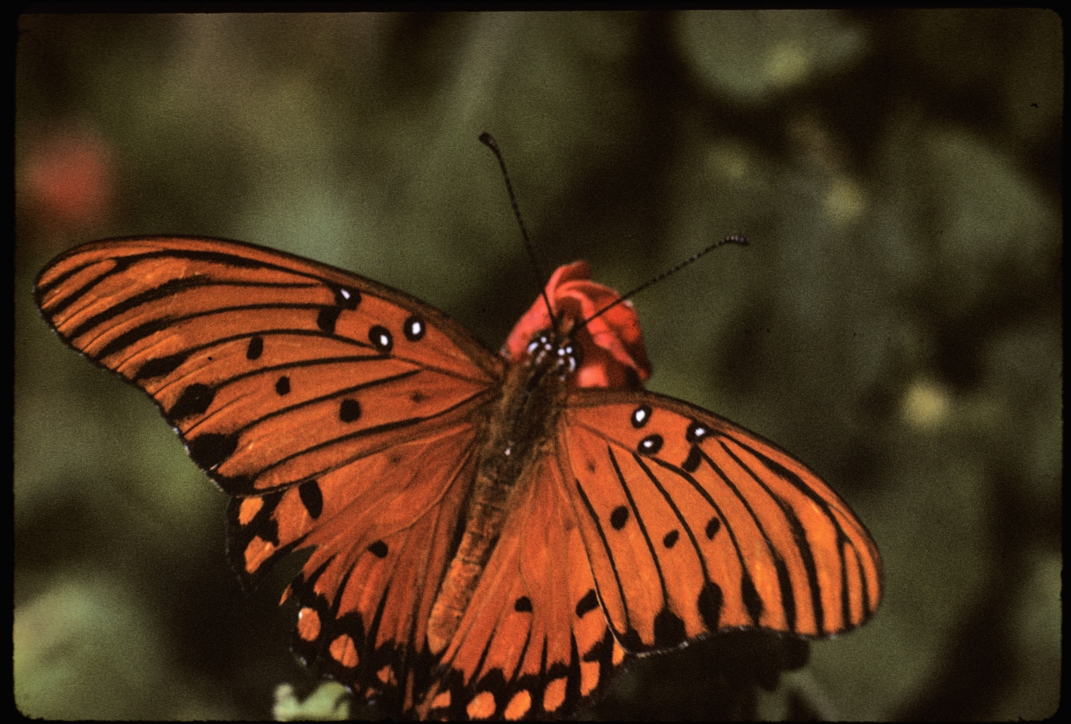 Gulf Fritillary butterfly, or Passion butterfly