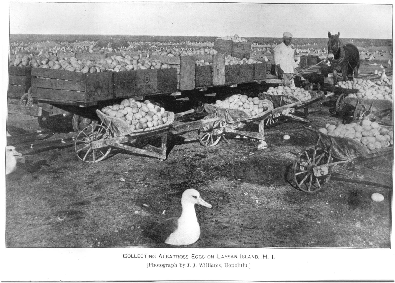 Collecting albatross eggs on Laysan Island.