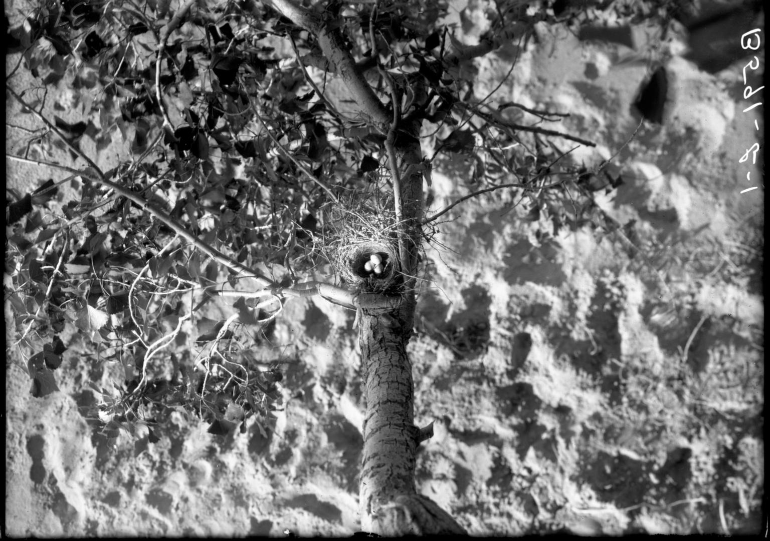 Towhee Nest