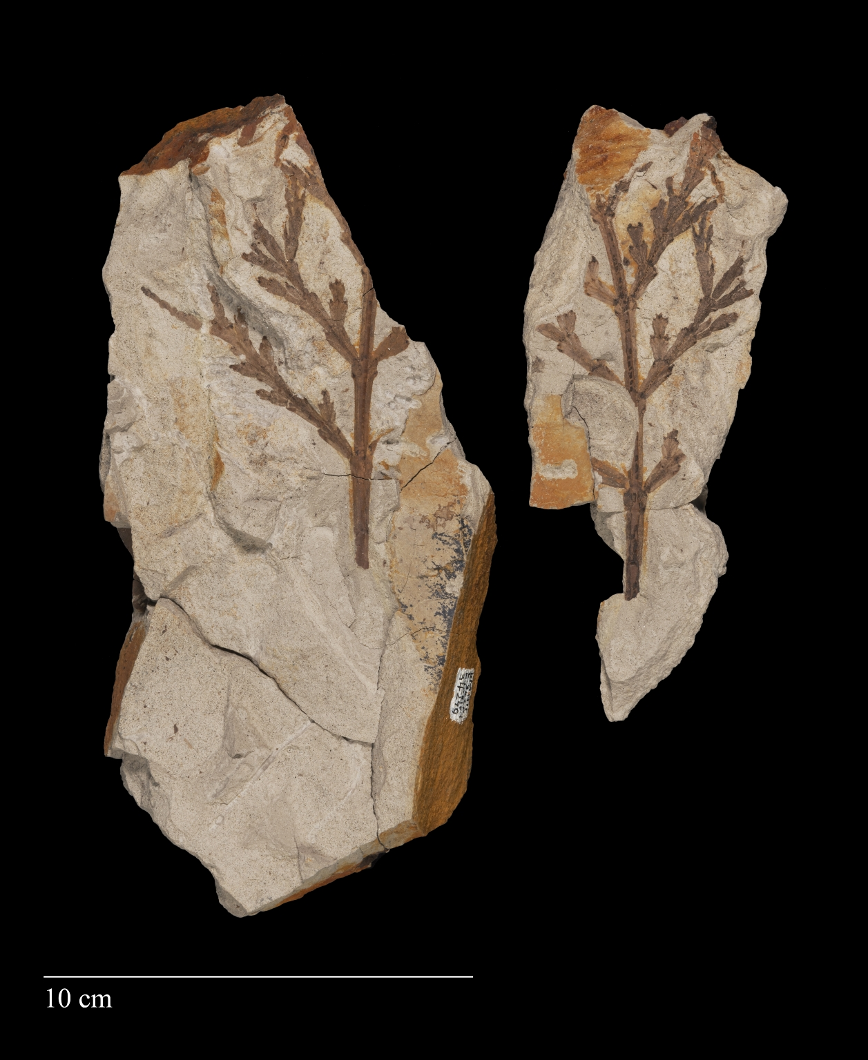 Fossil leaf and twig