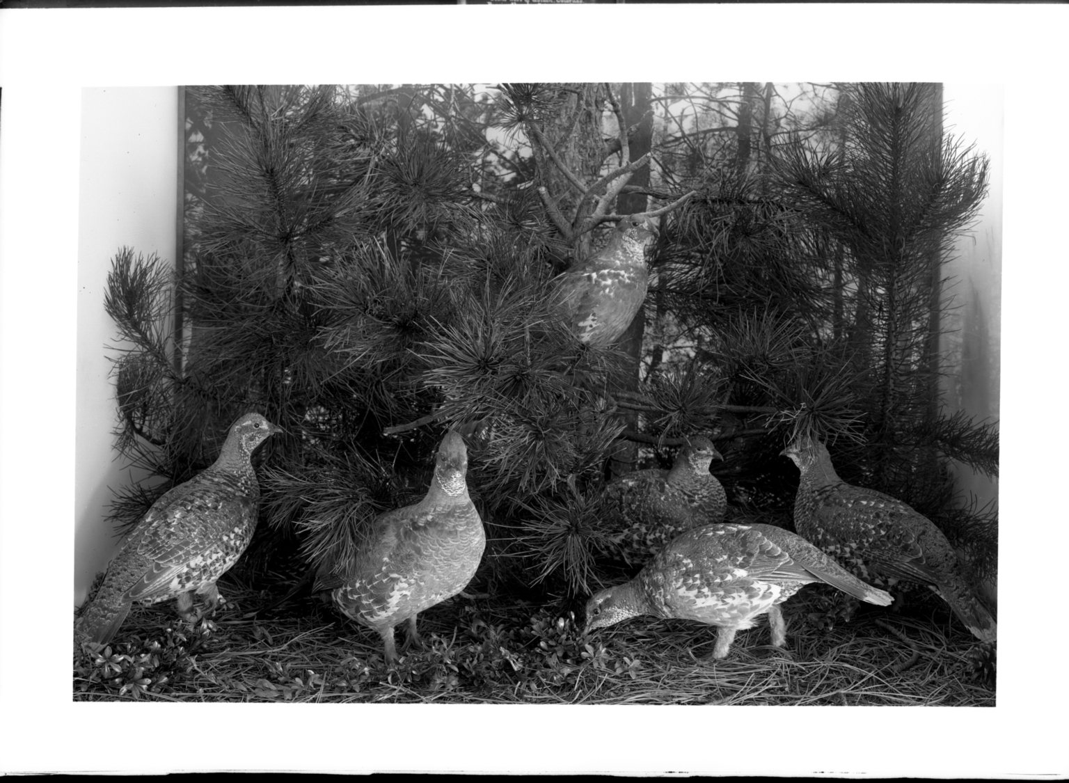 Old Dusky Grouse Group