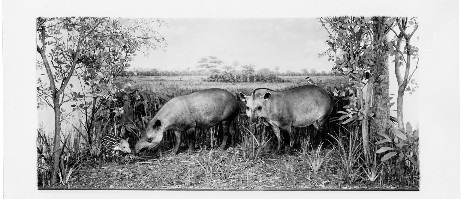 Brazilian Tapir Group