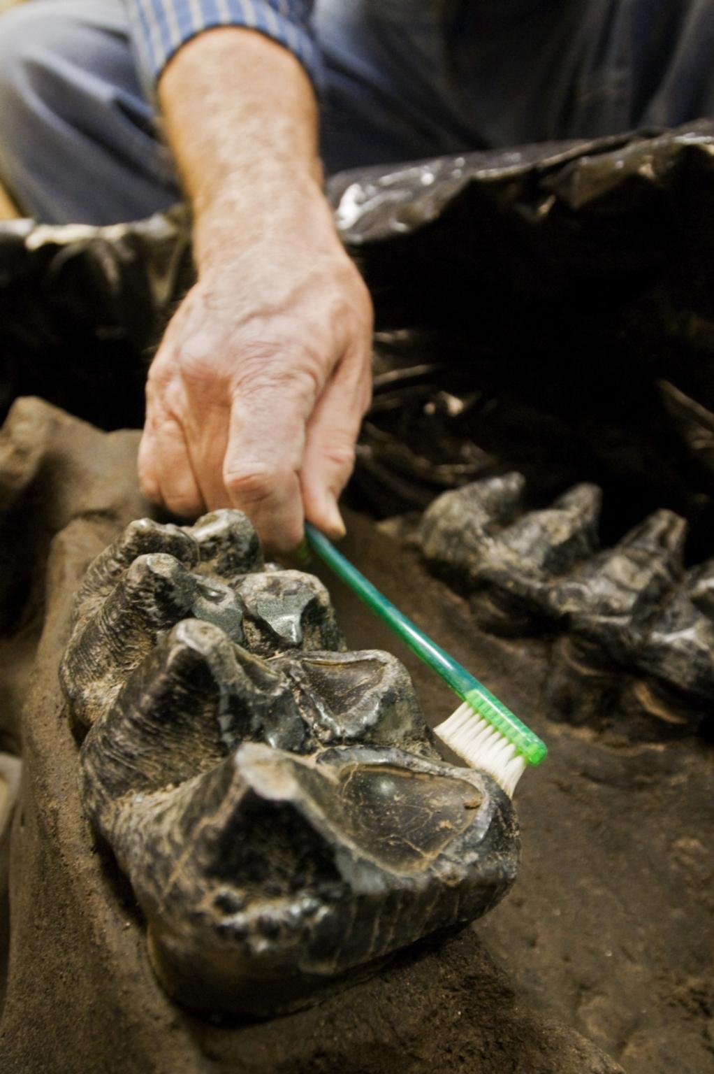 Brushing Mastadon skull teeth in Paleo Lab from Snomastadon Excavation